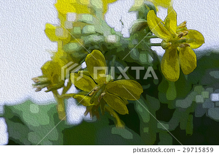 韓國花,花卉,花卉,韓國花椰菜,花卉,插圖,園藝,插圖 29715859
