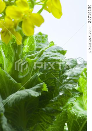 高花椰菜花韓國花椰菜花 29716150