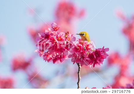 櫻花與綠繡眼 29716776
