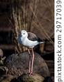 bird black-winged stilt 29717039