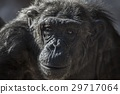 Old chimpanzee portrait at the zoo 29717064