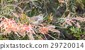 Golden-crowned Sparrow - Zonotrichia atricapilla 29720014