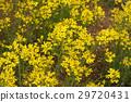 미즈나, 꽃, 플라워 29720431
