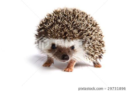 Small hedgehog on white background. 29731896