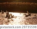 一隻天鵝在夕陽下飛走 29735598