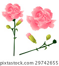 Dianthus caryophyllus - Carnation Flower  29742655