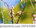 白梅花 梅 花朵 29743085