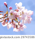 cherry blossom, cherry tree, spring 29743586
