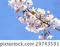 봄 꽃이 만발한 벚꽃 도쿄 29743591
