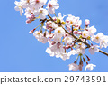 cherry blossom, cherry tree, spring 29743591