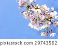 cherry blossom, cherry tree, spring 29743592