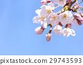 cherry blossom, cherry tree, spring 29743593