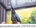 Cockatoo 29744193
