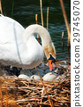 White Swan in the Nest With Eggs 29745070