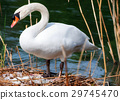 White Swan in the Nest With Eggs 29745470