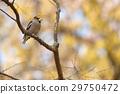 蠟嘴鳥 鳥兒 鳥 29750472