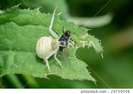 White spider with caught fly on a leaf 29750548