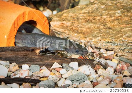 Portrait of catfish (Heteropneusteus fossilis) in aquarium 29750558
