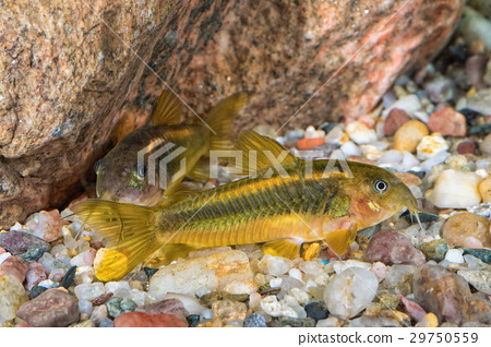 Portrait of catfish (Corydoras sp.) in aquarium 29750559