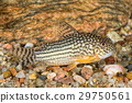 Portrait of catfish (Corydoras sterbai) in aquarium 29750561