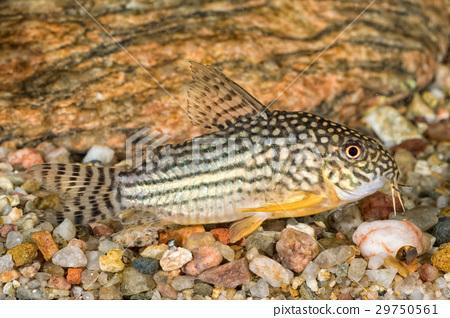 Portrait of catfish (Corydoras sterbai) in aquarium 29750561