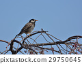 gray, starling, bird 29750645