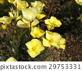 加州罂粟 花朵 花卉 29753331