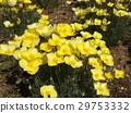 加州罂粟 花朵 花卉 29753332