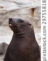 库页冷杉 北海狮 动物 29755818