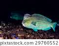 bumphead parrotfish close up portrait underwater 29760552