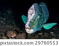 bumphead parrotfish close up portrait underwater 29760553