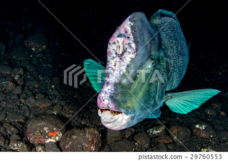 bumphead parrotfish close up portrait underwater 29760553