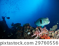 bumphead parrotfish close up portrait underwater 29760556