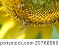 蜜蜂 昆虫 向日葵 29768969