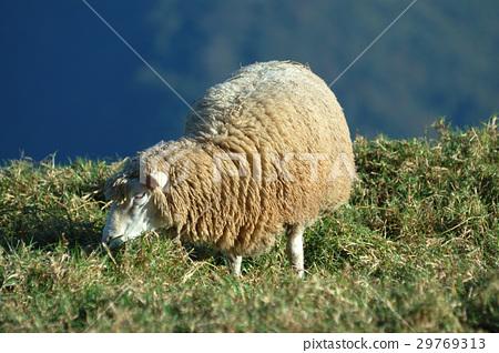一隻羊 29769313