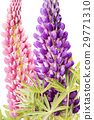 lupine, blooming, flowers 29771310