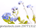 myosotis scorpioide, forget-me-not, bloom 29771312