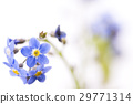 forget-me-not, borage family, bloom 29771314