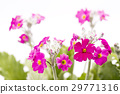 primula, bloom, blossom 29771316