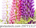 lupine, bloom, blossom 29771317