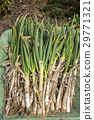 long onion, welsh onions, welsh onion 29771321