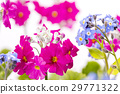primula, forget-me-not, bloom 29771322