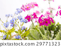 primula, flowers, forget-me-not 29771323