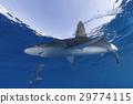 小笠原 鲨鱼 海洋 29774115