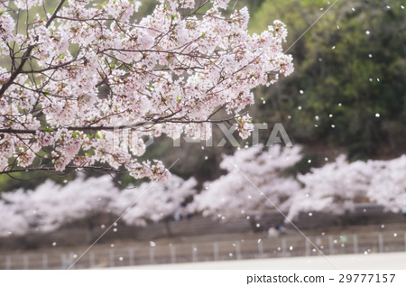 Cherry blossoms fall 29777157