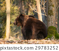 Common brown bear siting in forest - Ursus arctos 29783252