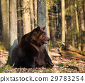 Brown bear sitting near the tree - Ursus arctos 29783254