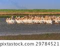 white pelicans (pelecanus onocrotalus) 29784521