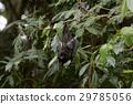 잠자리의 숲에 매달린 오가사와라 박쥐 29785056