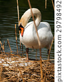White Swan in the Nest With Eggs 29798492